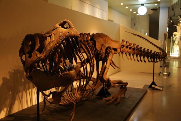 タルボサウルスの化石(国立科学博物館所蔵)