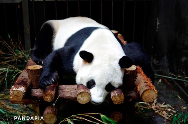 世界初、パンダの出産現場をネット生中継