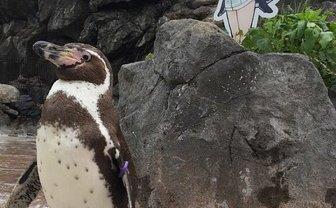 『けものフレンズ』に恋するペンギン死ぬ フルル声優 築田行子も悼む