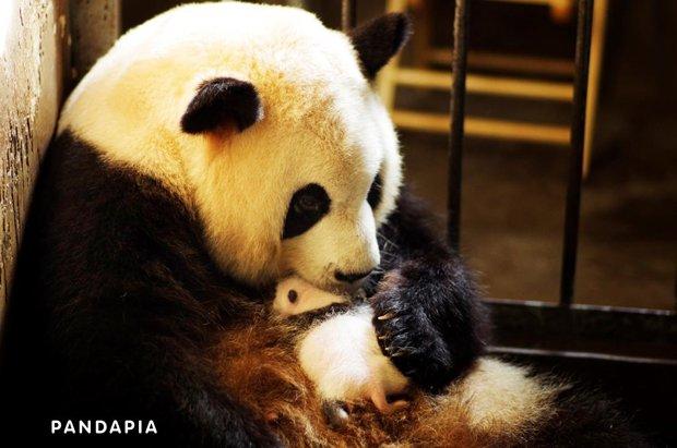 パンダの出産を世界初ネット生中継! 「っぽーん」な瞬間を見逃すな!