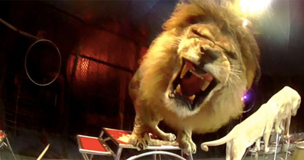 ライオン近すぎ!サーカスの団員目線で撮影したらスゴイ映像がとれちゃった!