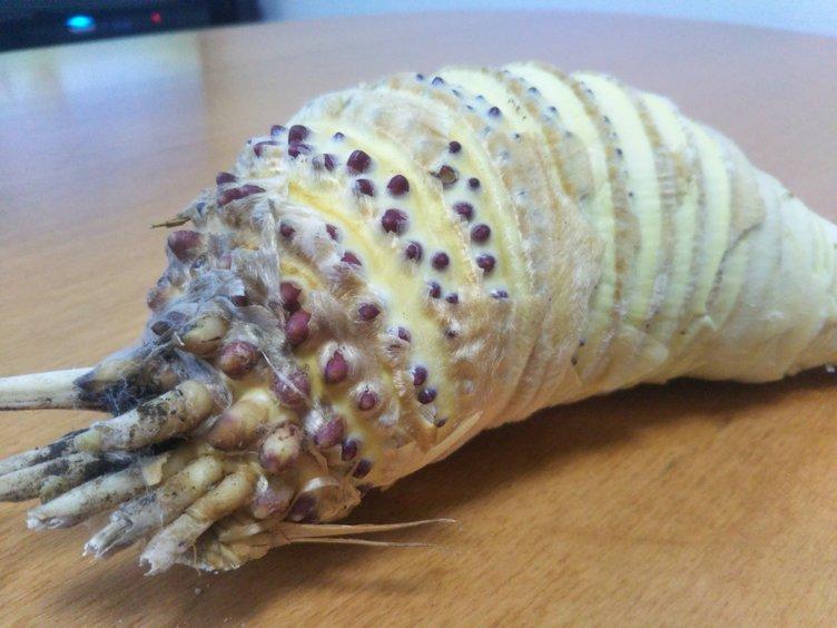 【画像】とある野菜の皮を剥いたら、完全に王蟲でした
