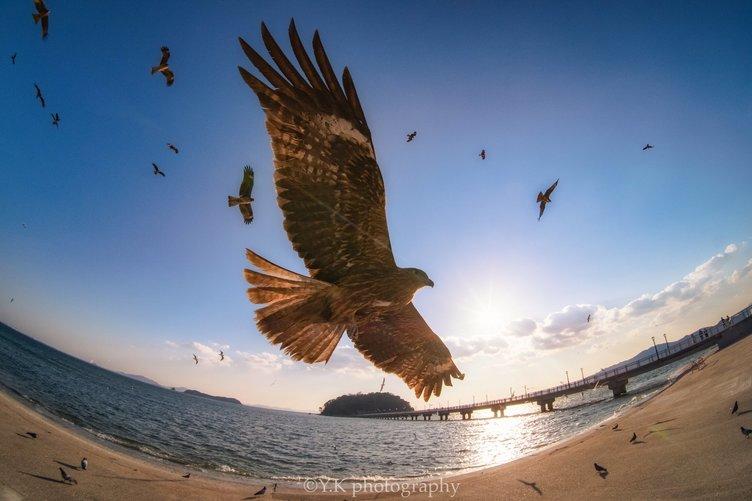 青空を舞うトンビを捉えた写真が最高にかっこいい 羽音が聞こえてきそうな迫力!