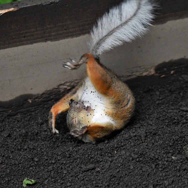 鳥獣戯画のウサギにそっくり リスの躍動感に「神がかってる」と反響