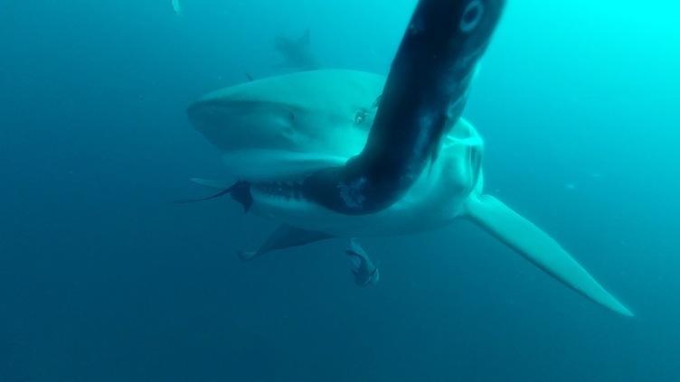 夏といえばサメ! ナショジオの特集「シャーク・フェス」に大塚明夫&三宅健太